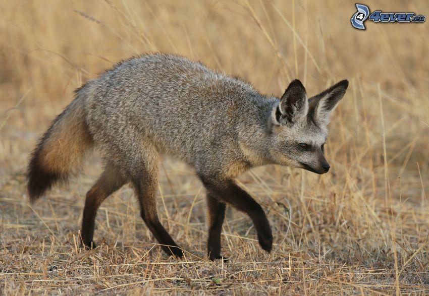 renard à oreilles de chauve-souris