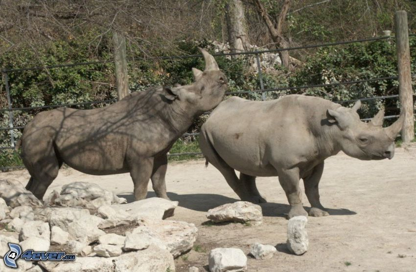 Rhinocéros, pierres