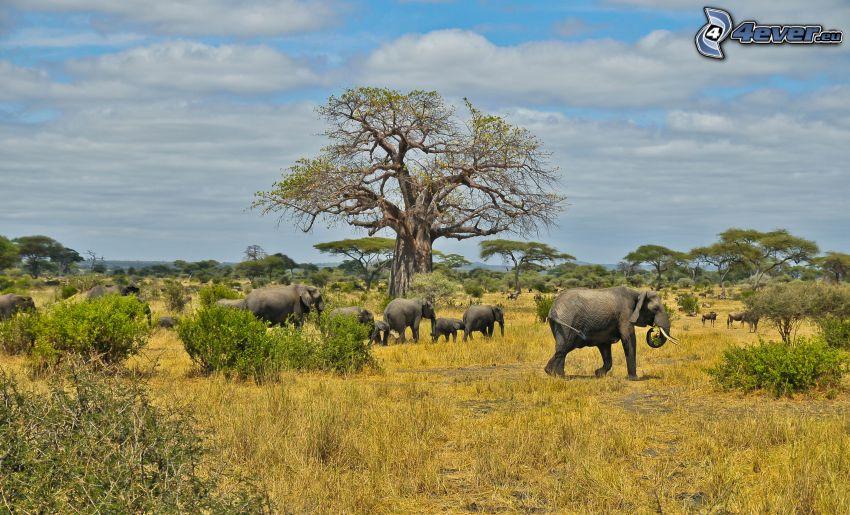 savane, éléphants, baobabs
