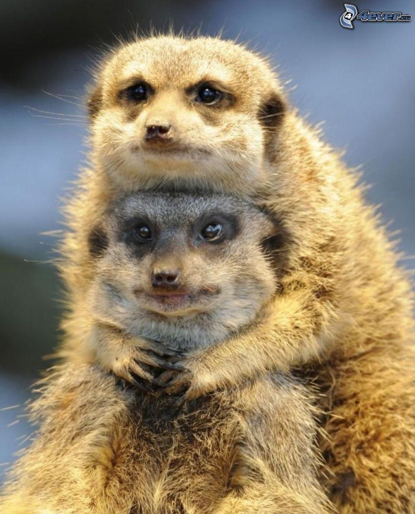 suricates, étreinte