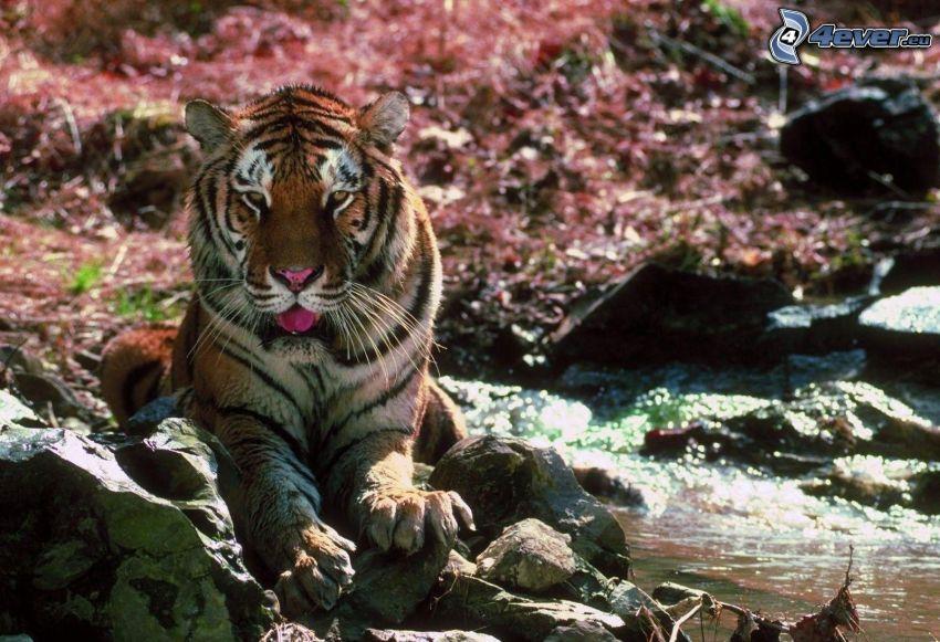 tigre, pierres, eau