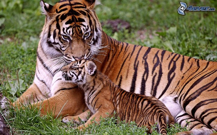 tigres, jeune, l'herbe, amour