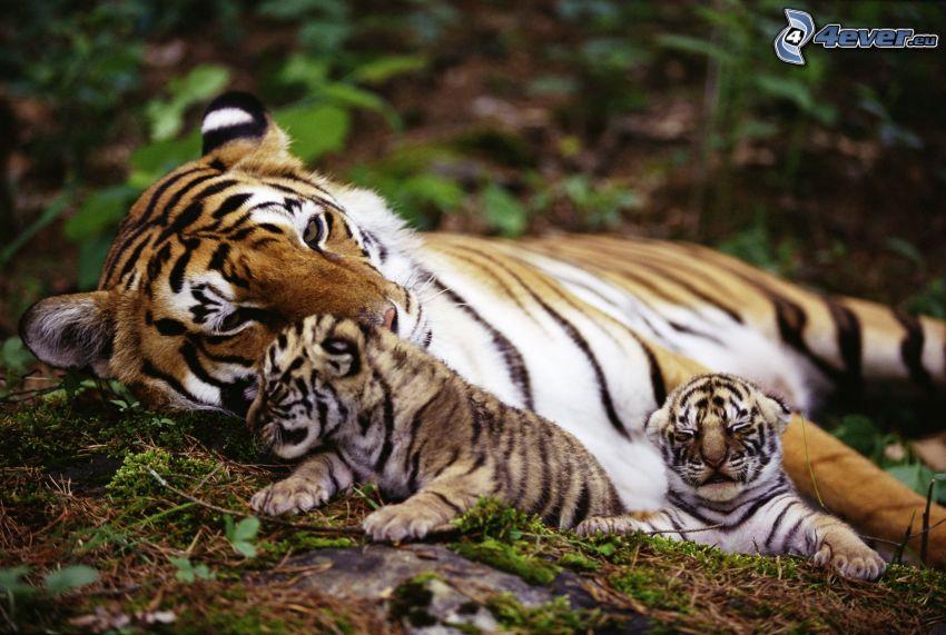 tigres, jeunes