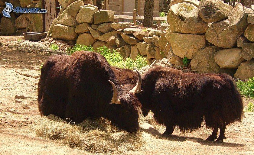 yaks, pierres