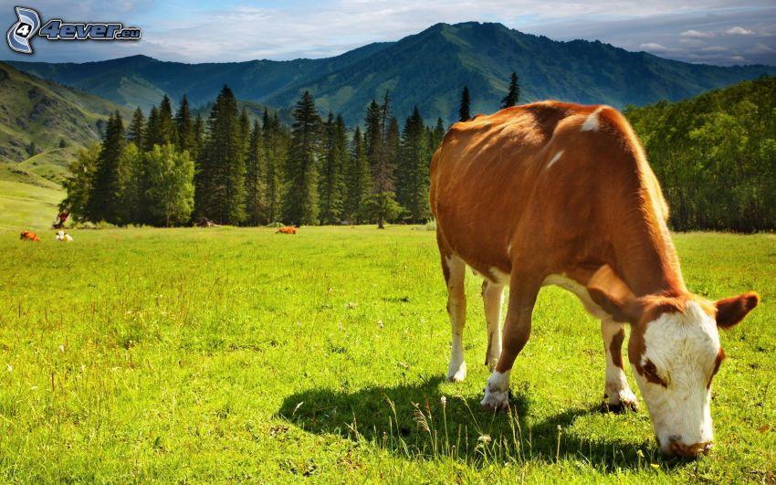 vache, herbe verte, arbres conifères, collines