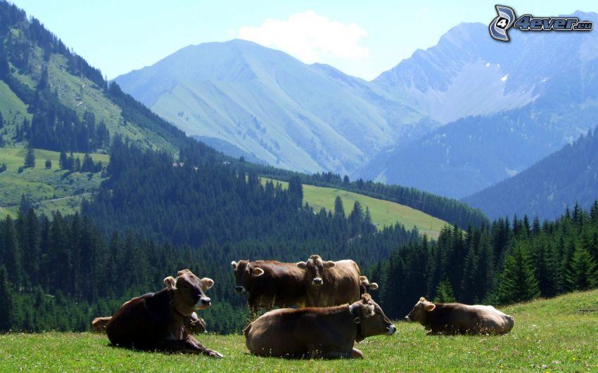 vaches, collines, forêt de conifères