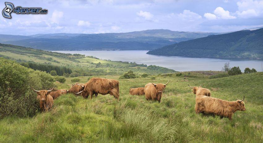 vaches, prairie, rivière, collines