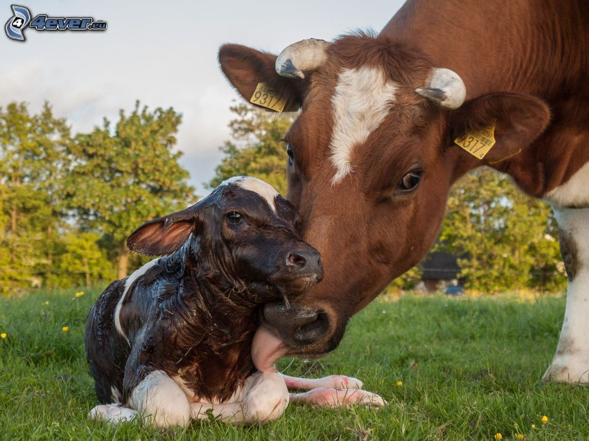 vaches, veau