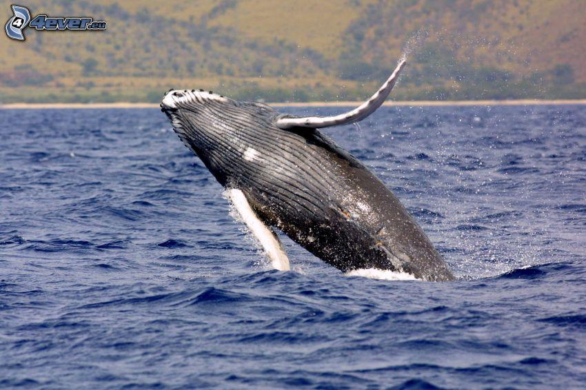 Baleine à bosse, mer