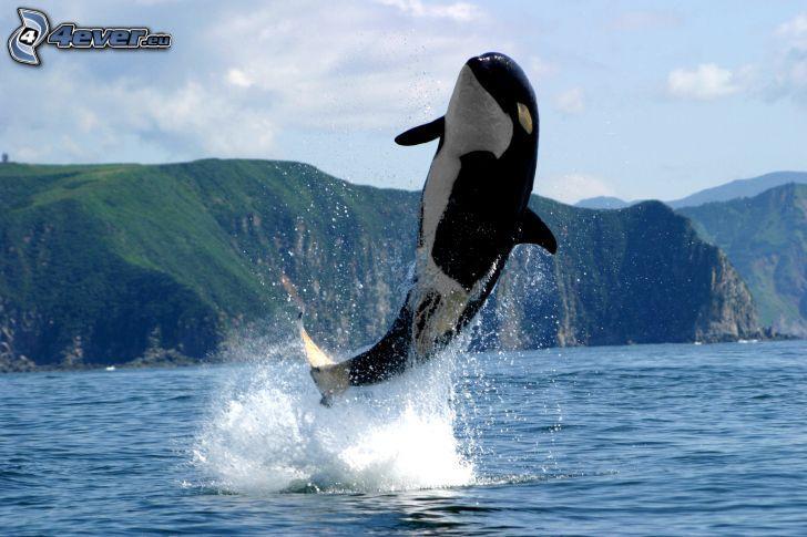 orque, saut, eau, colline