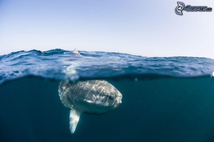 poisson-lune, mer, surface de l'eau