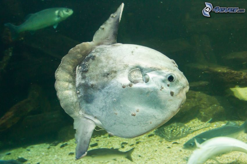 poisson-lune, poissons
