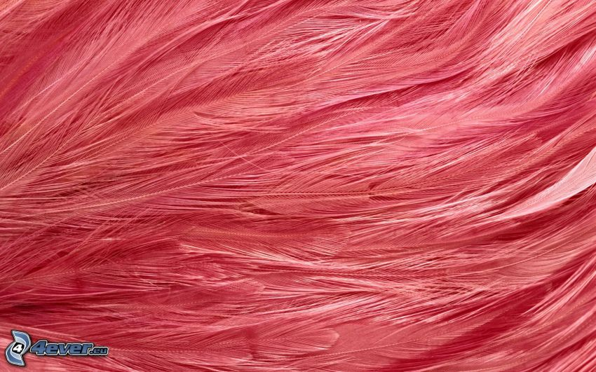 plumes, fond rose