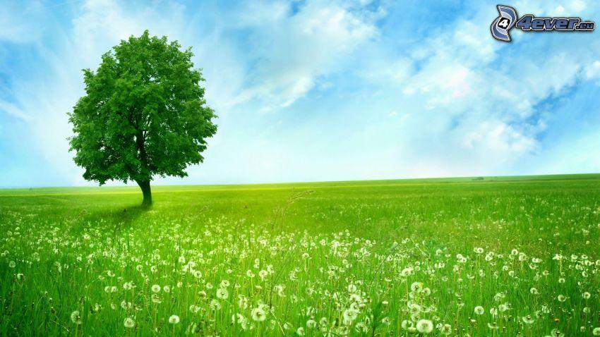 arbre solitaire, prairie, pissenlit défleuri