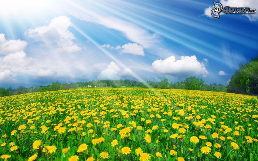 prairie de pissenlits, rayons du soleil, nuages