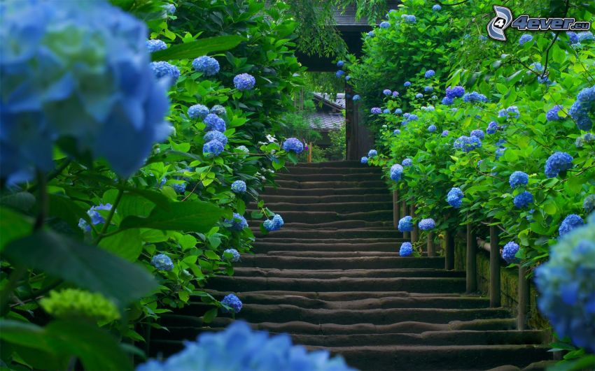 escaliers en bois, hortensia, fleurs bleues