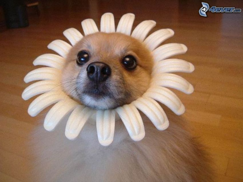 fleur, costume, chien