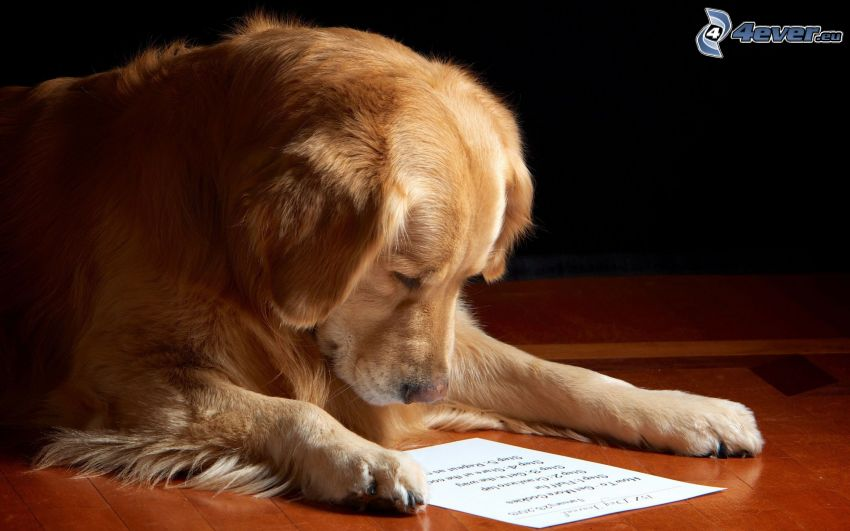 golden retriever, lettre