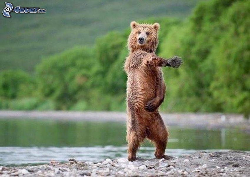 ours, danse, lac, forêt