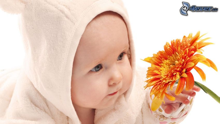 bébé, gerbera, fleur