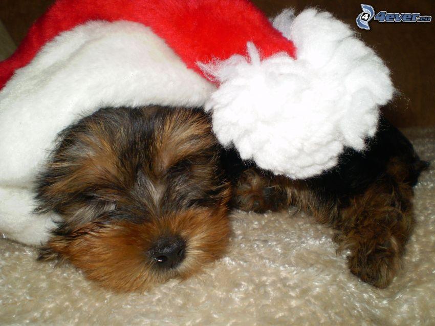 chien de noël, chapeau de Noel, Yorkshire Terrier, dormir