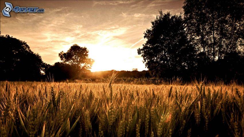 après le coucher du soleil, champ de blé, silhouettes d'arbres