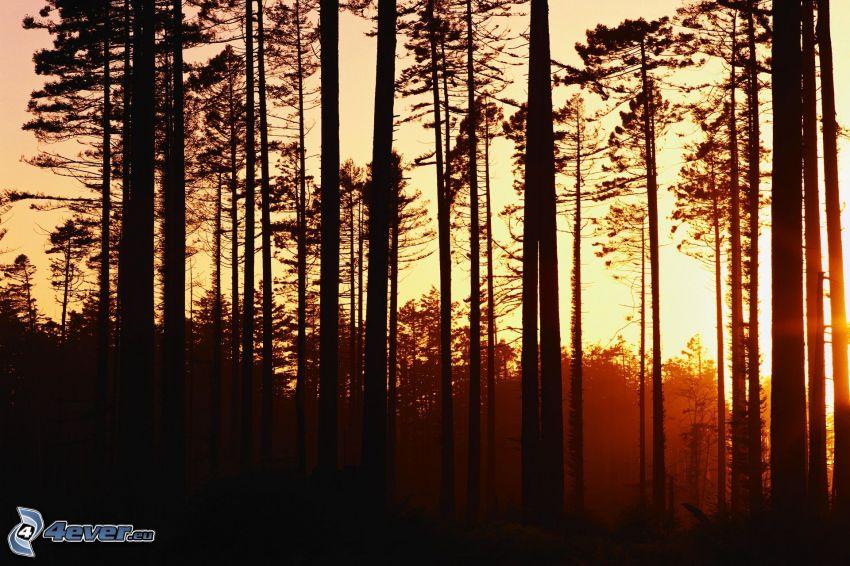 après le coucher du soleil, forêt, silhouettes d'arbres