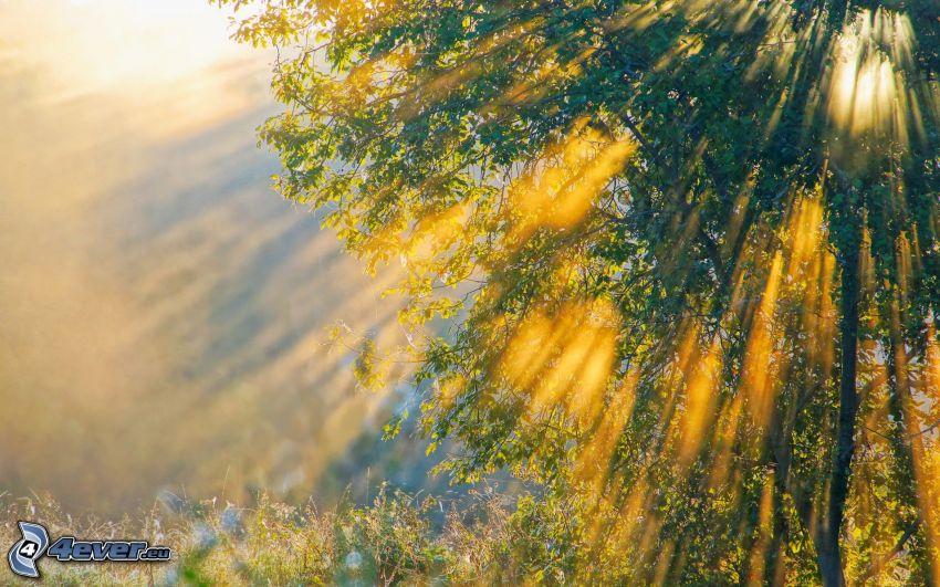 arbre, rayons du soleil