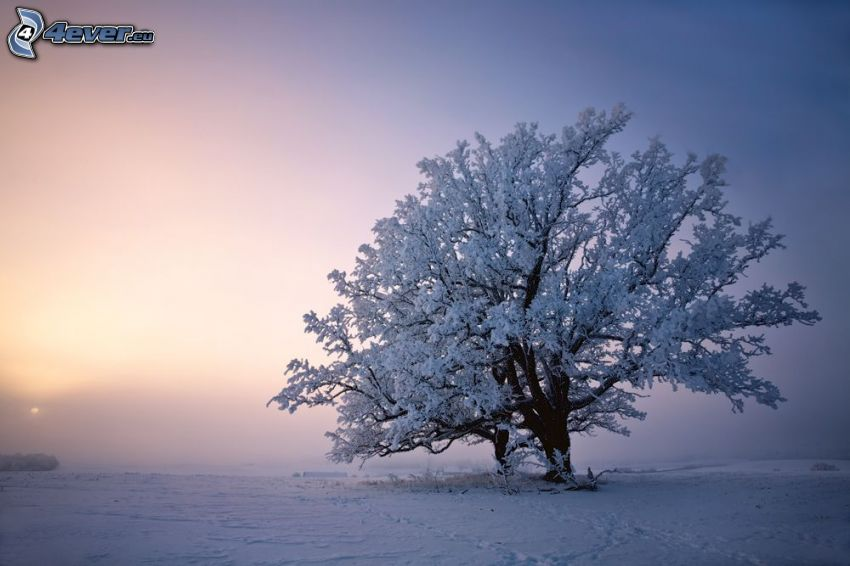 arbre enneigé, arbre solitaire
