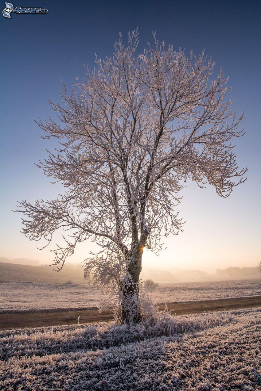 arbre enneigé, route, coucher du soleil
