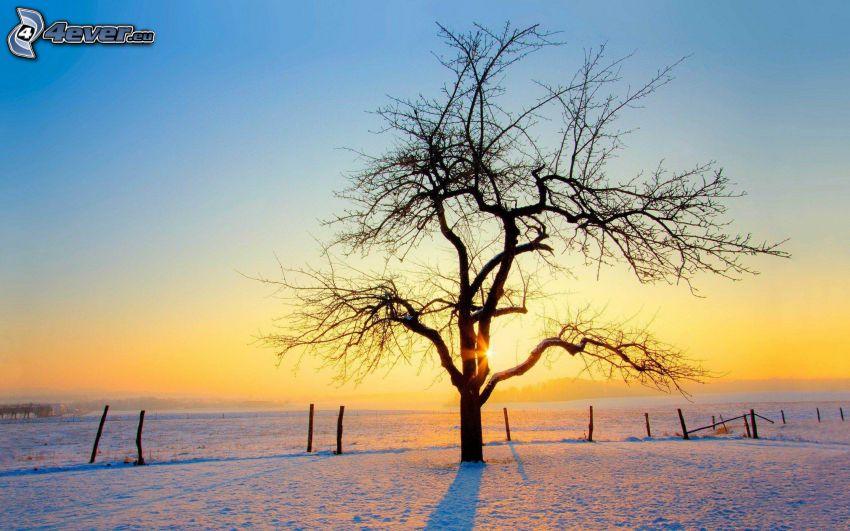 arbre sans feuilles, arbre solitaire, lever du soleil, neige