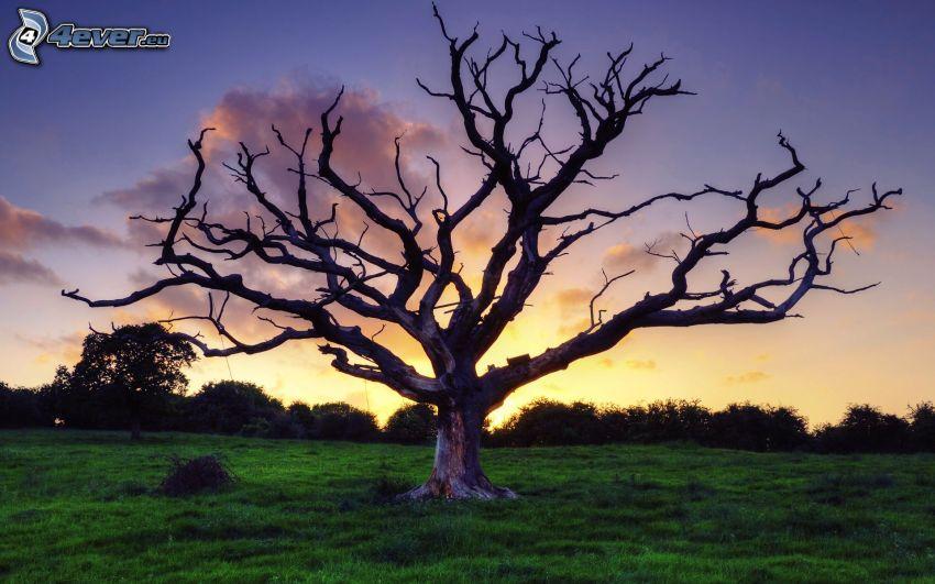 arbre sec dans, arbre solitaire, prairie, lever du soleil