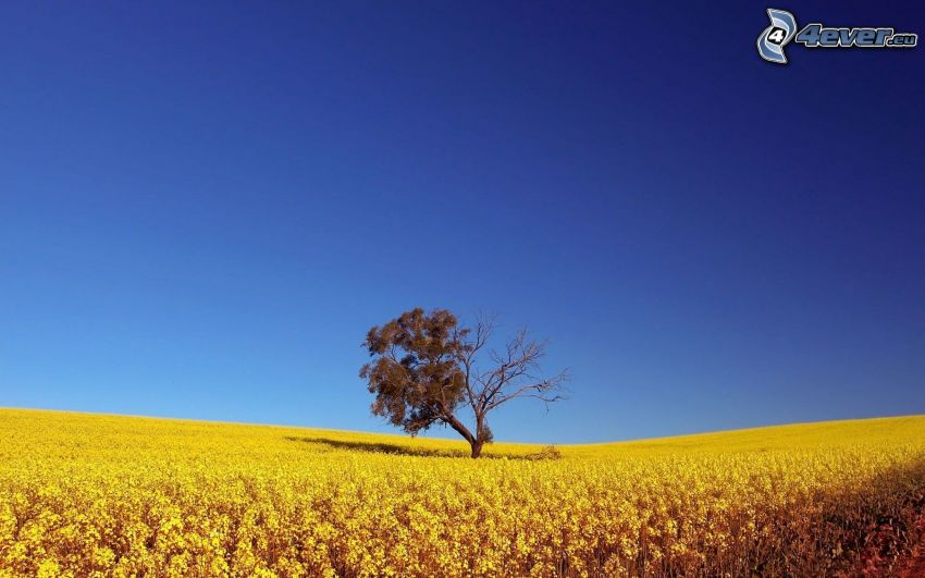 arbre solitaire, arbre sec, champ jaune