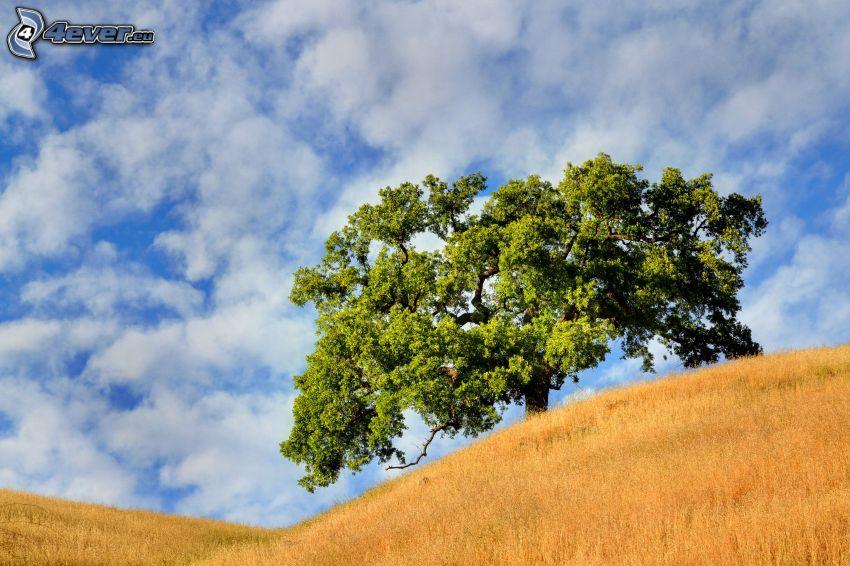 arbre solitaire, champ
