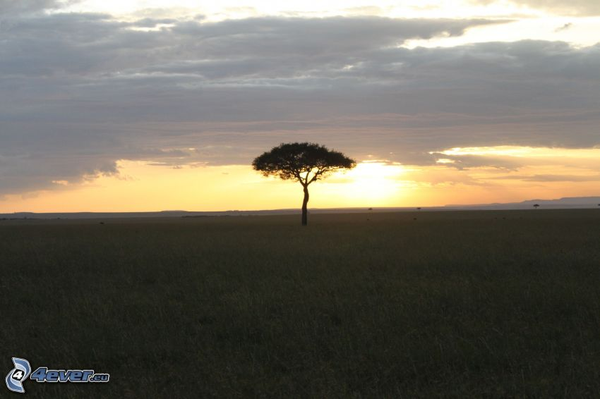 arbre solitaire, coucher du soleil, prairie, savane
