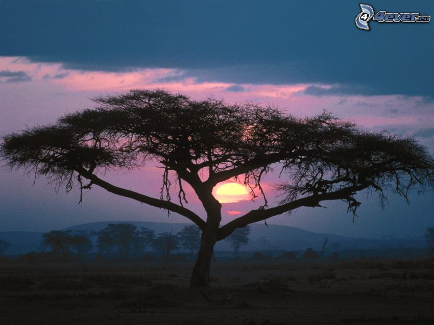 arbre solitaire, coucher du soleil, savane