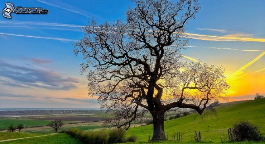 arbre solitaire, coucher du soleil dans une prairie