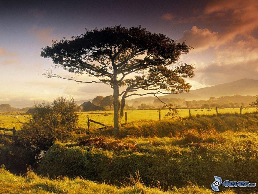 arbre solitaire, prairie, colline, forêt