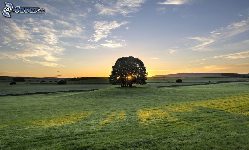 arbre solitaire, prairie, couchage de soleil derrière un arbre