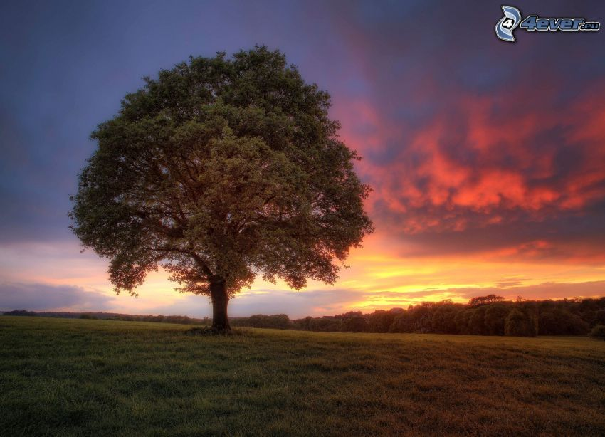 arbre solitaire, prairie, forêt, ciel du soir