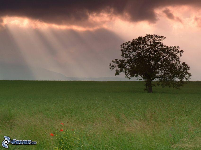 arbre solitaire, prairie, rayons du soleil