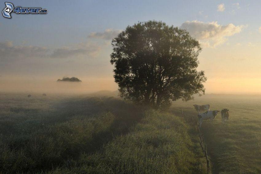 arbre solitaire, vaches, brouillard au sol, soirée