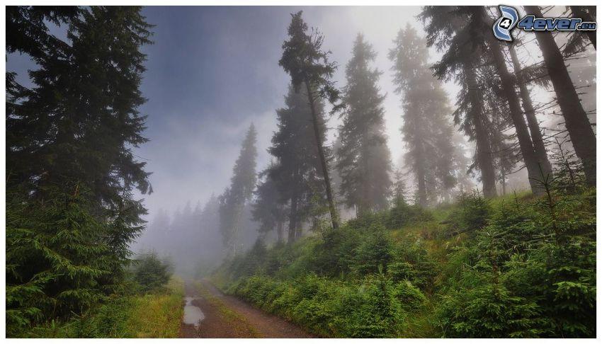 arbres conifères, chemins forestier, brouillard