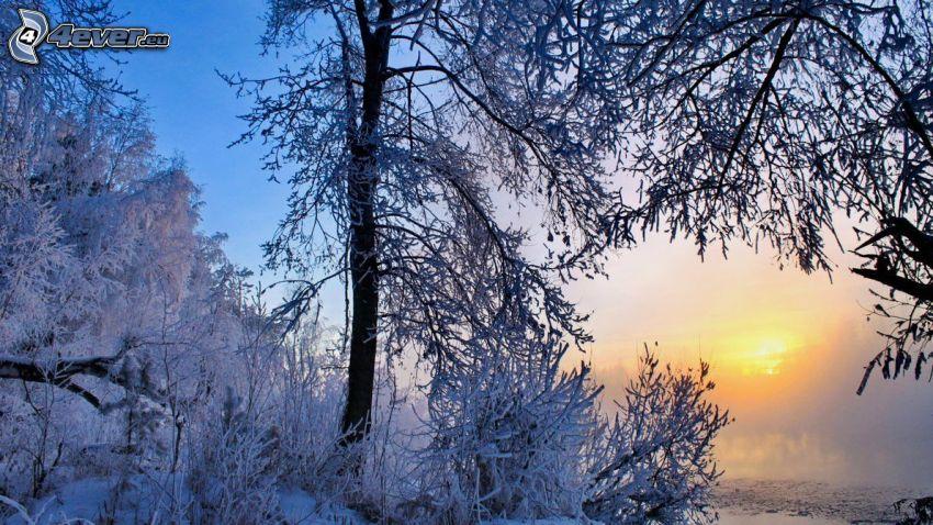 arbres enneigés, coucher du soleil, brouillard au sol