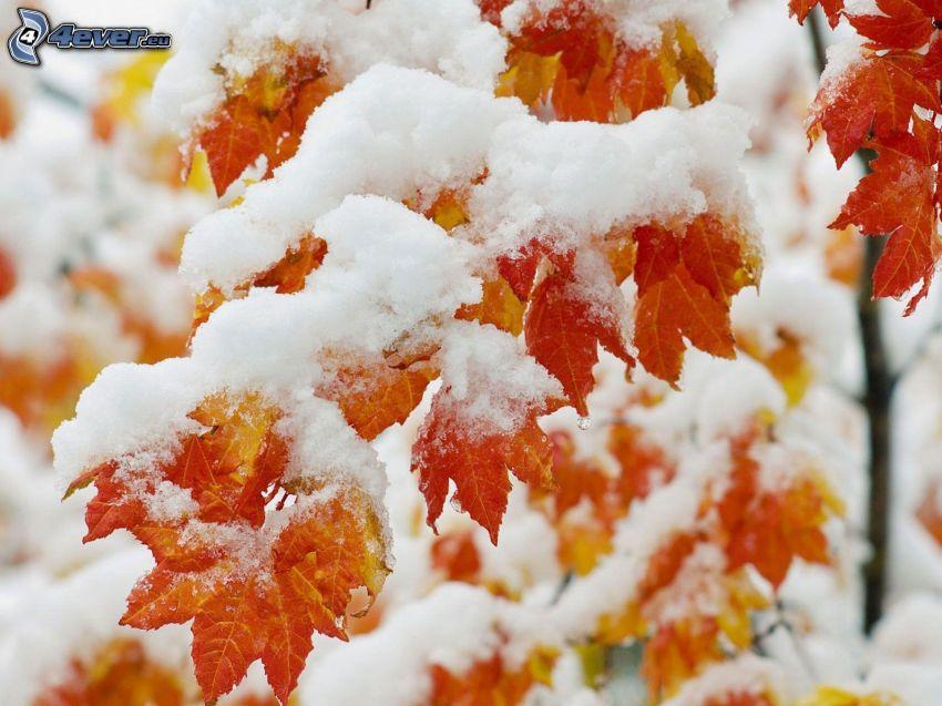 branche enneigée, feuilles colorées