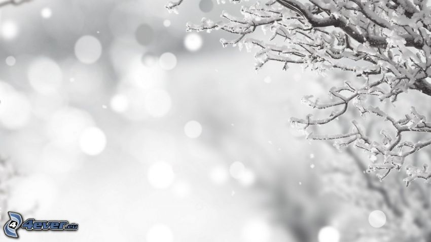 branches enneigées, chute de neige