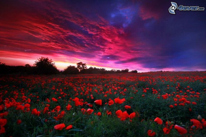 champ, coquelicot, après le coucher du soleil, ciel rose, silhouettes d'arbres