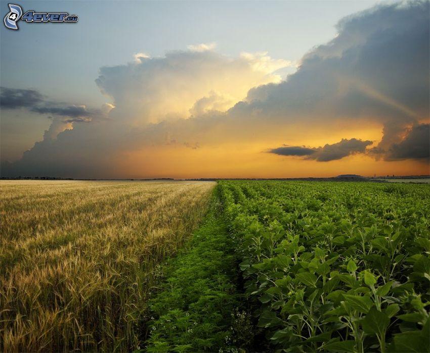 champ, plantes, après le coucher du soleil
