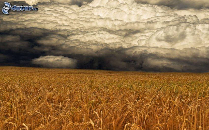 champ de blé mûr, nuages d'orage