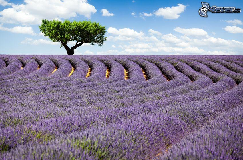 champs de lavande, arbre solitaire, ciel